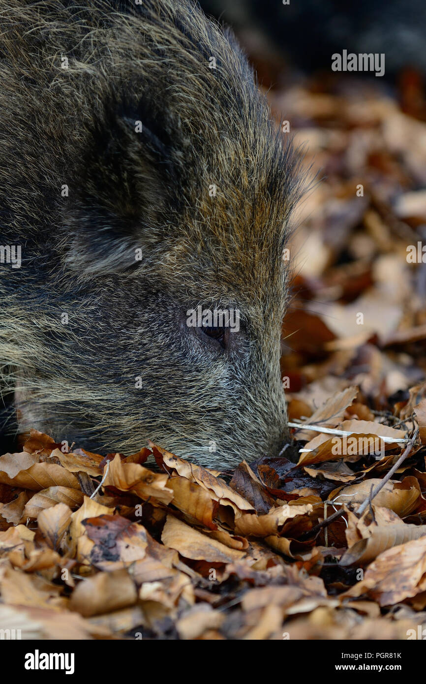 Wild boar search feed in the forest, head portrait, autumn, germany, (sus scrofa) - Stock Image