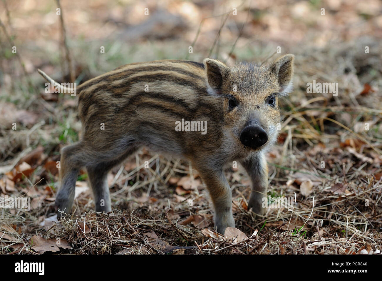 Wild boar piglet in the forest, spring, germany, (sus scrofa) - Stock Image