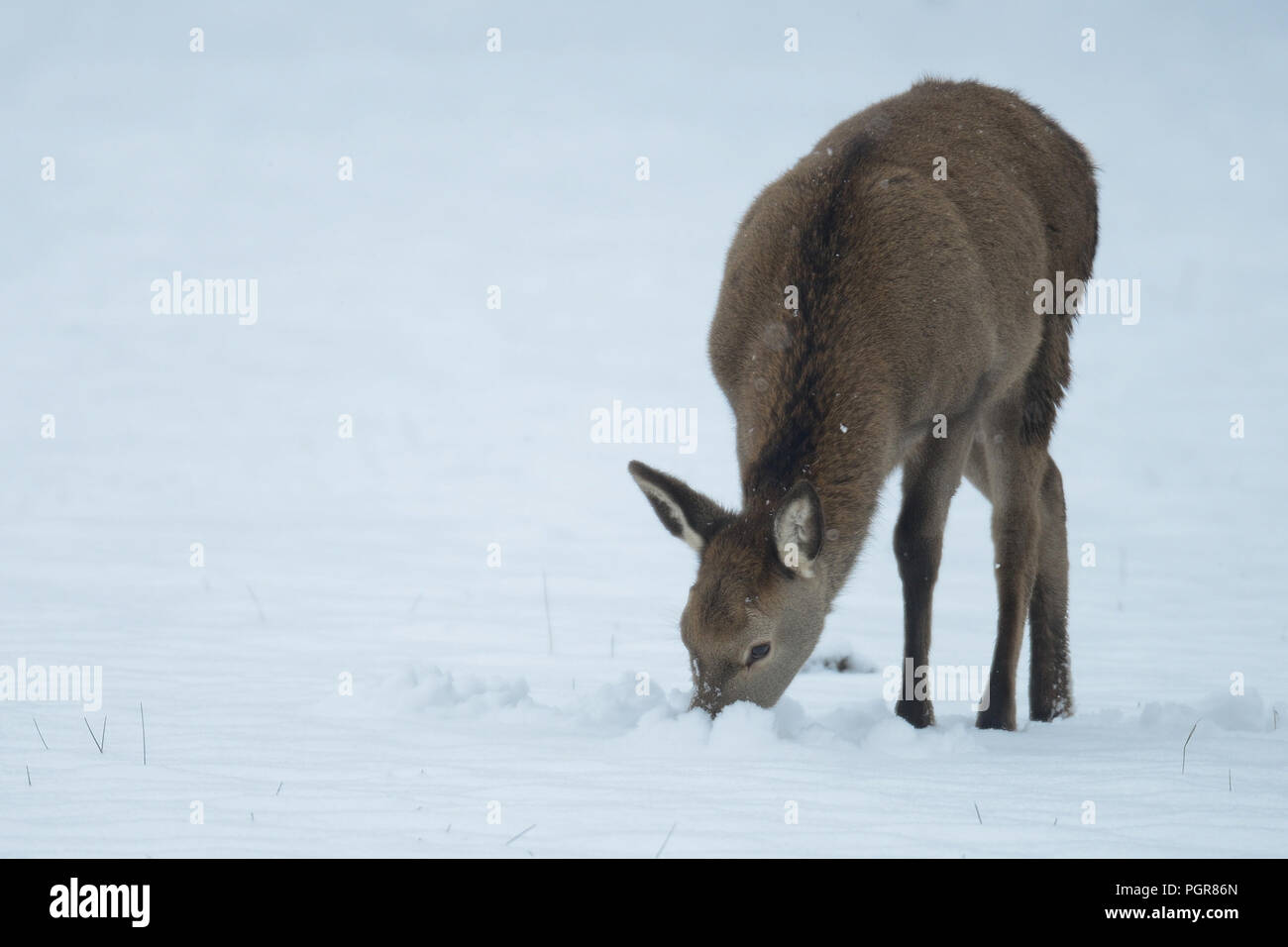Red deer calf search feed in the snow, winter, germany, (cervus elaphus) - Stock Image