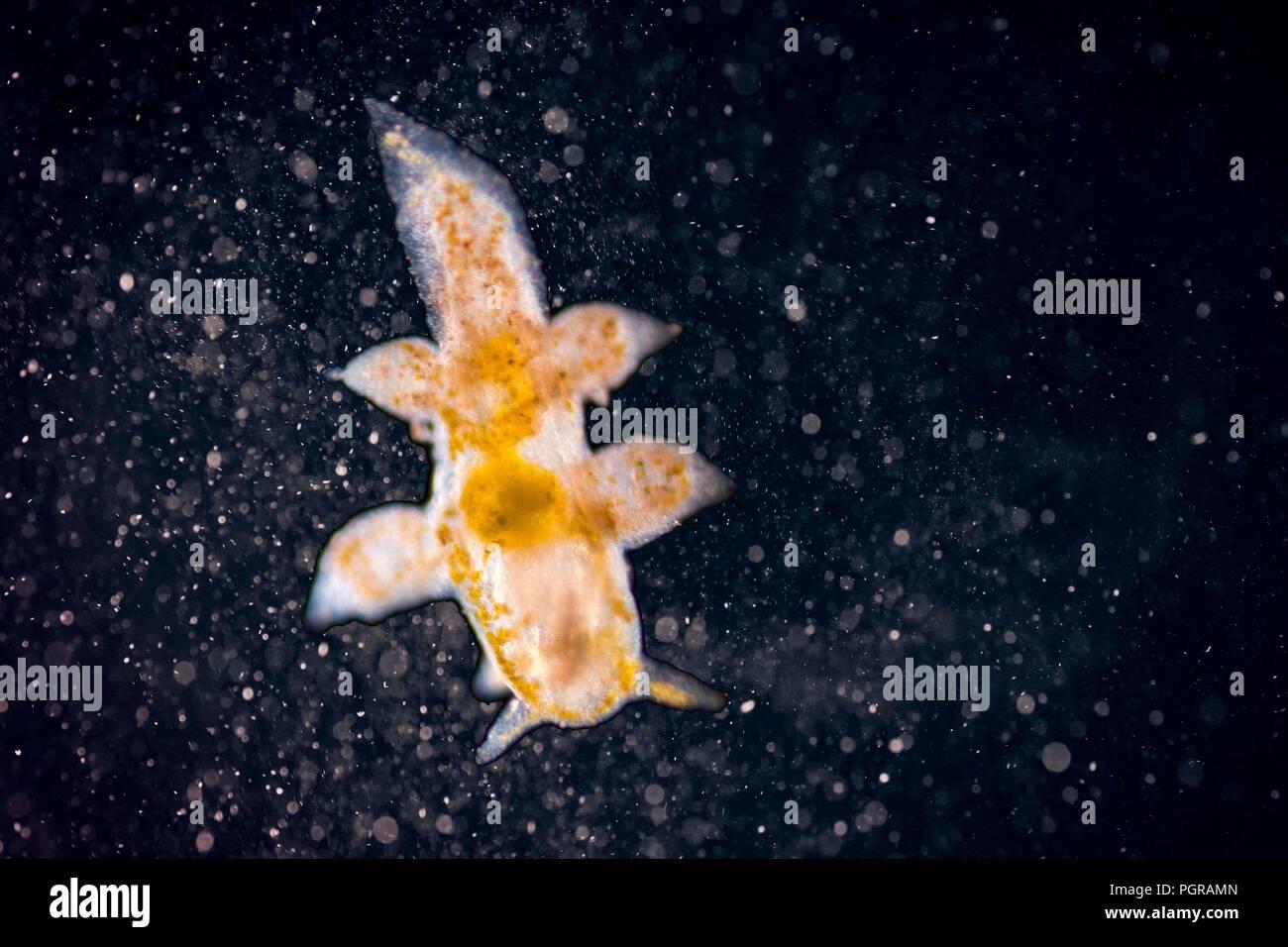 Microscopic Nudibranch marine gastropod mollusk on magical galaxy background - Stock Image