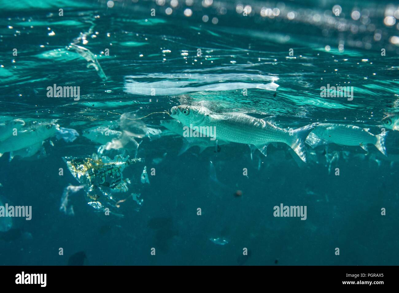 A shoal of Grey Mullets ingest plastic pollution from the surface of the ocean in Egypt - Stock Image
