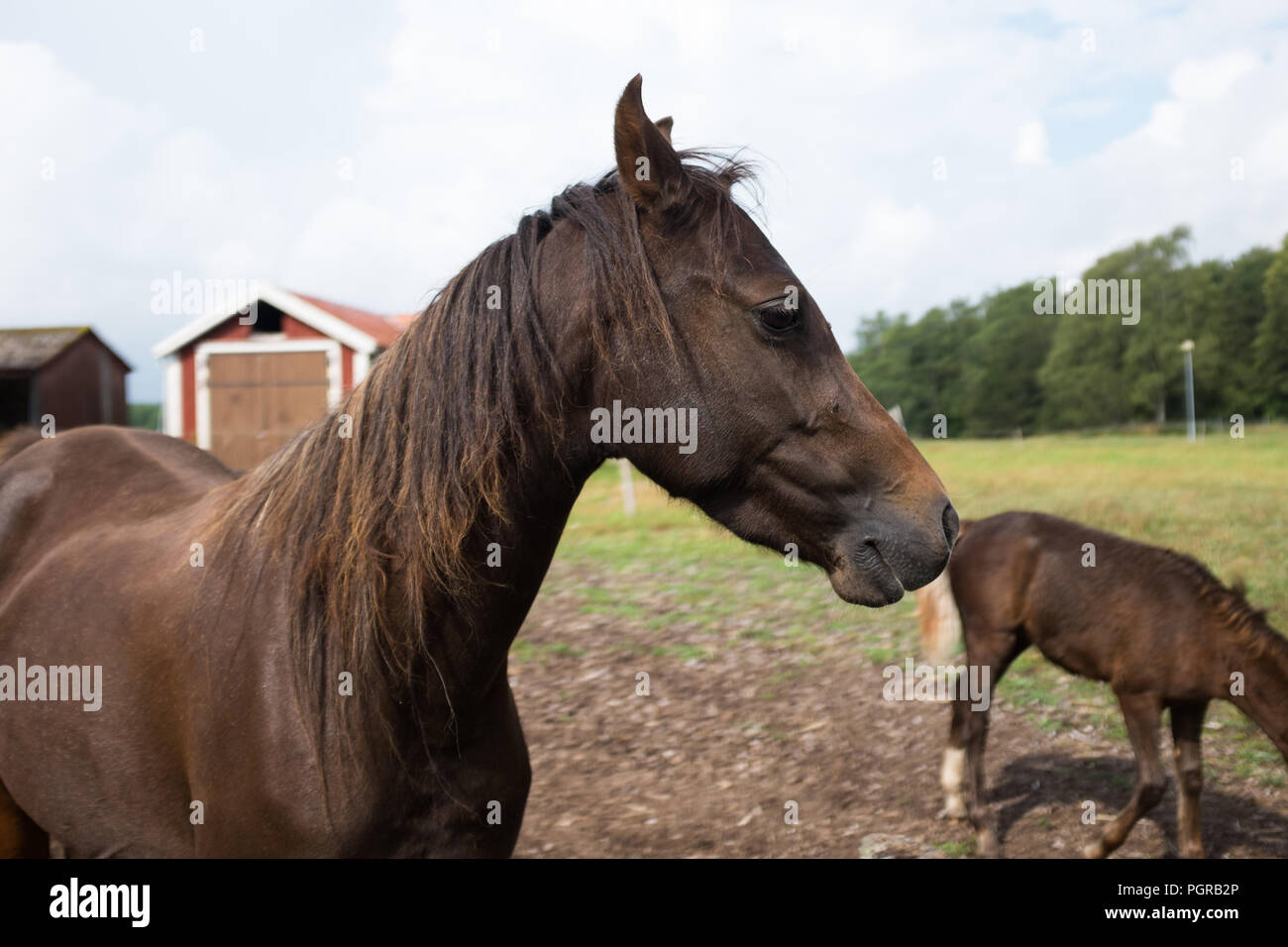 swedisch horses Stock Photo