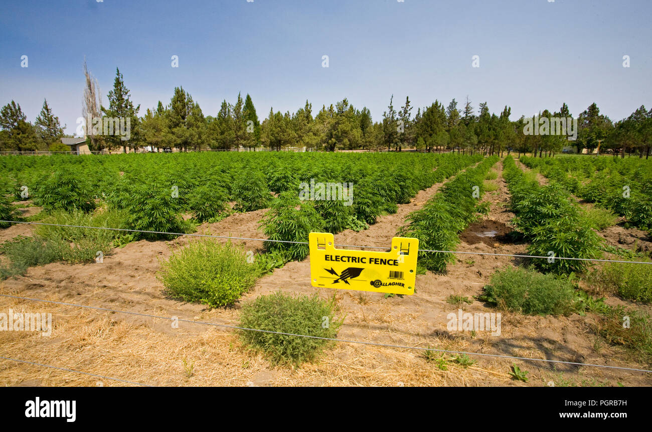 A field of industrial hemp, a strain of Cannabis Sativa L, grows alonside Highway 20 in central Oregon between Bend and Sisters, Oregon. Cannabis Sati - Stock Image