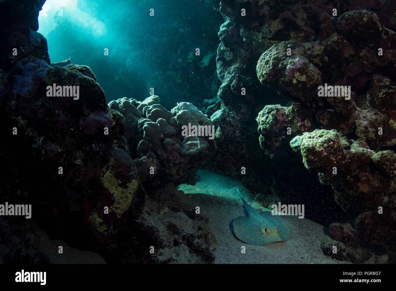 Bluespotted sting ray Neotrygon kuhlii in coral reef Marsa Nakari, Egypt. - Stock Image