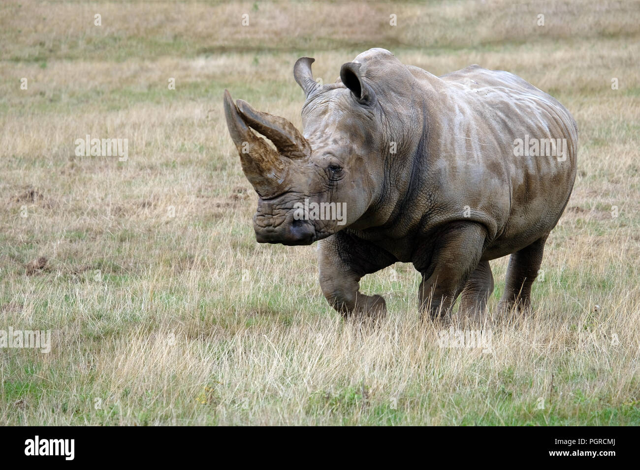 White rhino charging - Stock Image
