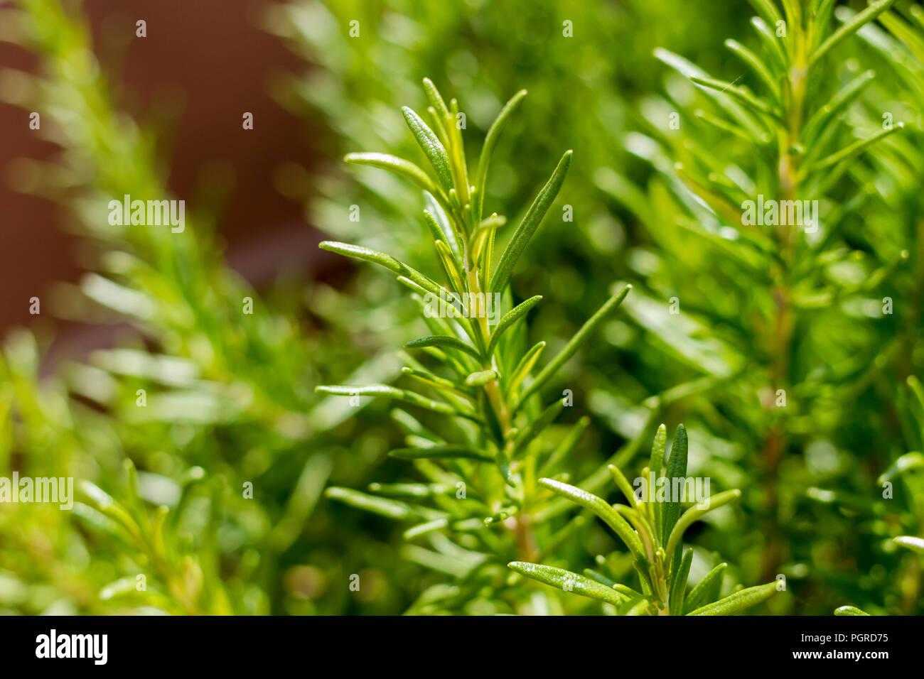Rosmarinus Officinalis, Rosemary herb growing in summertime, Dorset, UK - Stock Image