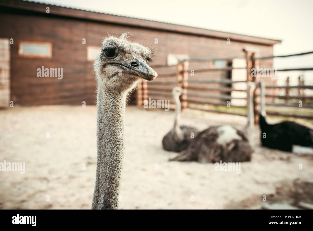 closeup view of ostrich muzzle and other ostriches sitting behind in corral at zoo - Stock Image