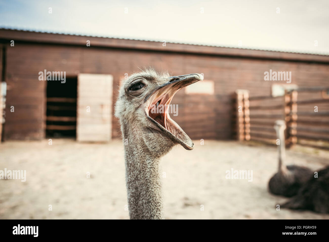 closeup shot of yawning ostrich in corral at zoo - Stock Image