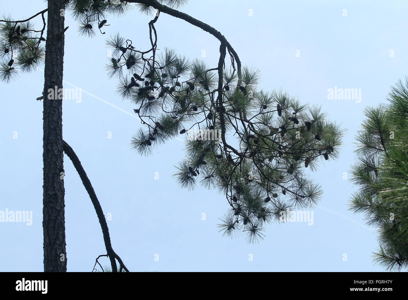 Pine tree branch with cones seen against clear sky - Stock Image