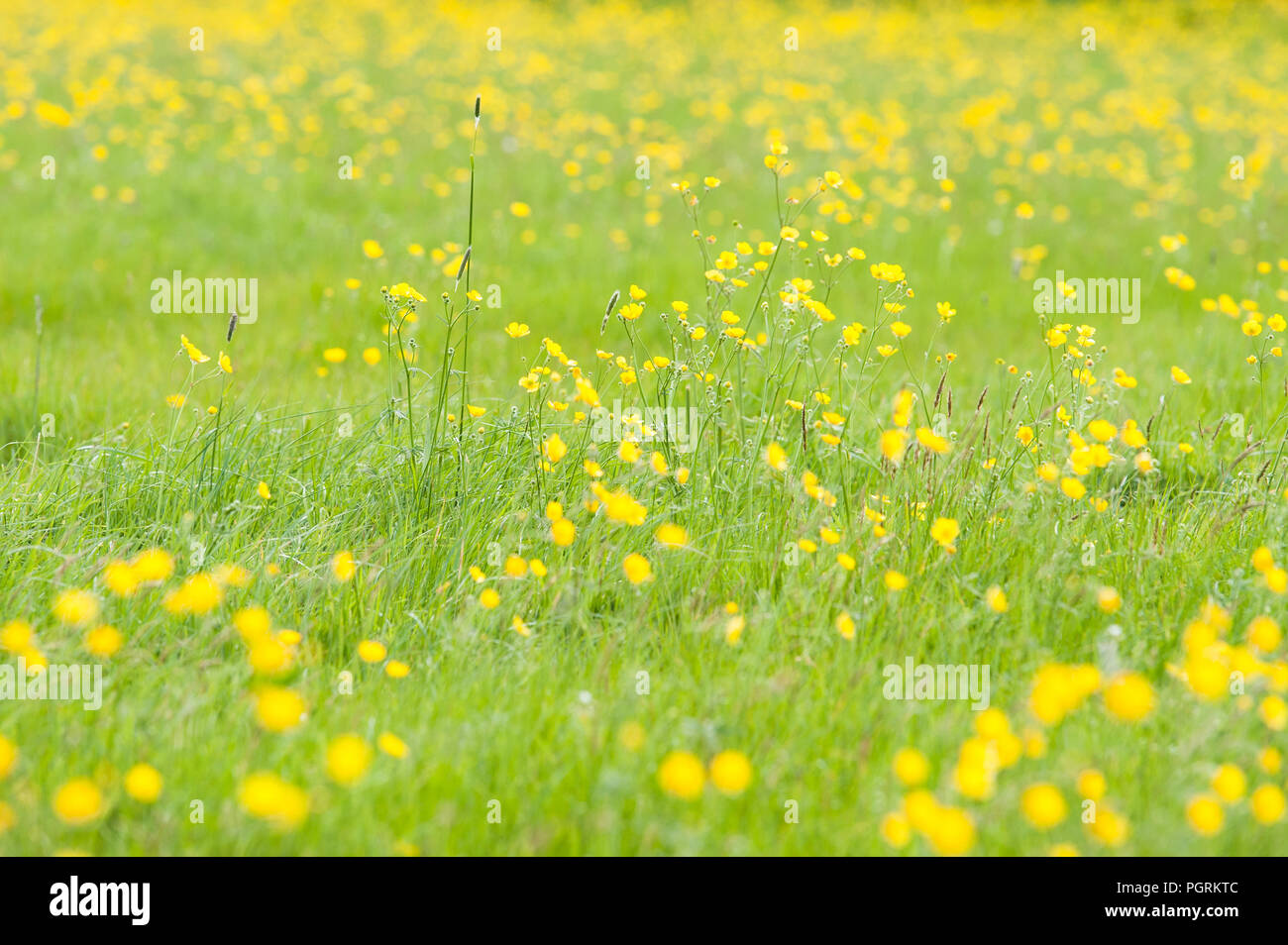 A relaxing and wistful springtime field of buttercups and grass. - Stock Image