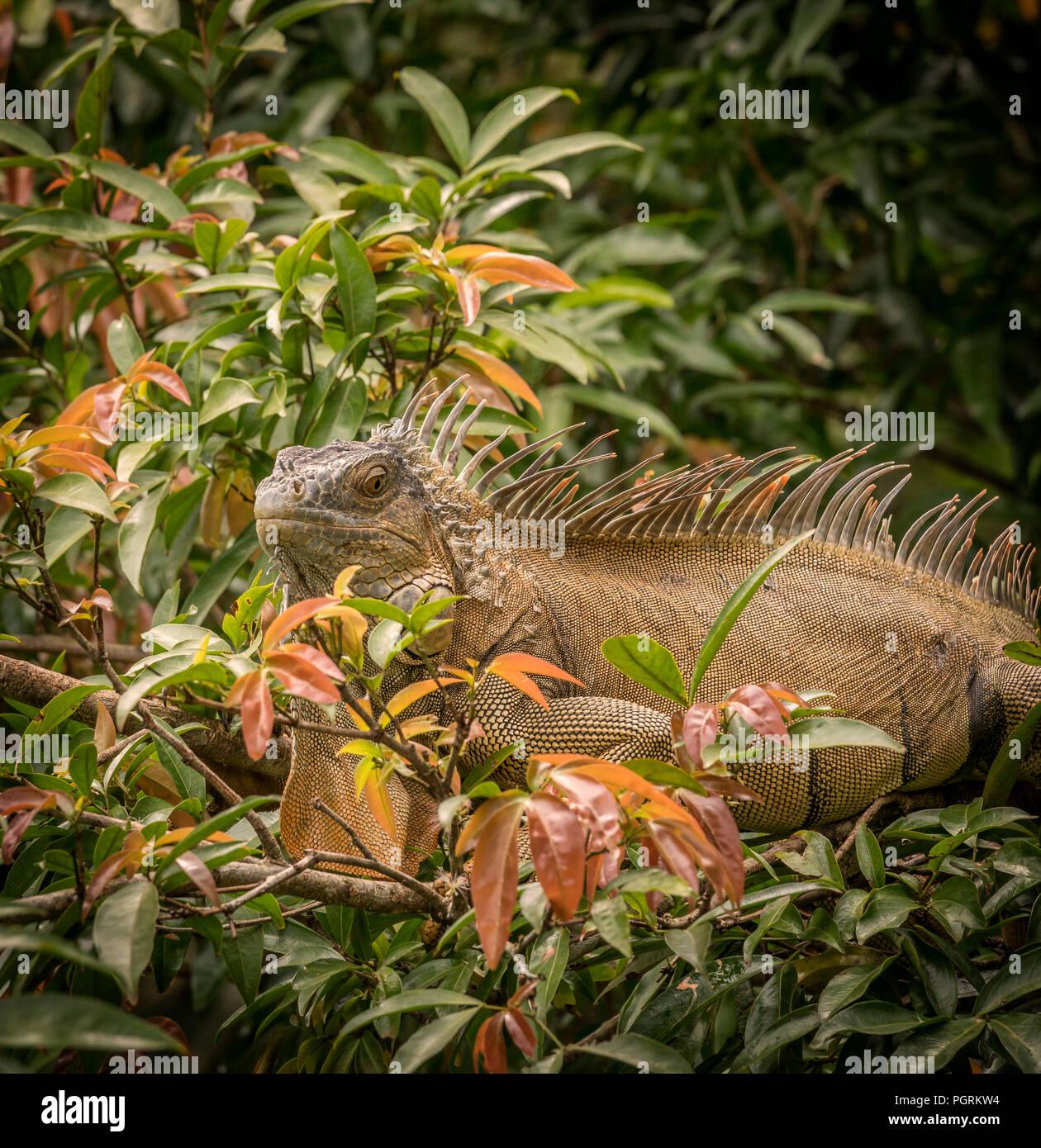 Black Iguana, Costa Rica - Stock Image