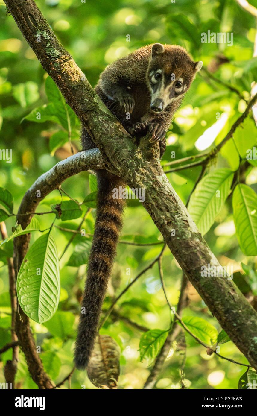 White-Nosed Coati, Maquenque National Wildlife Refuge, Costa Rica - Stock Image