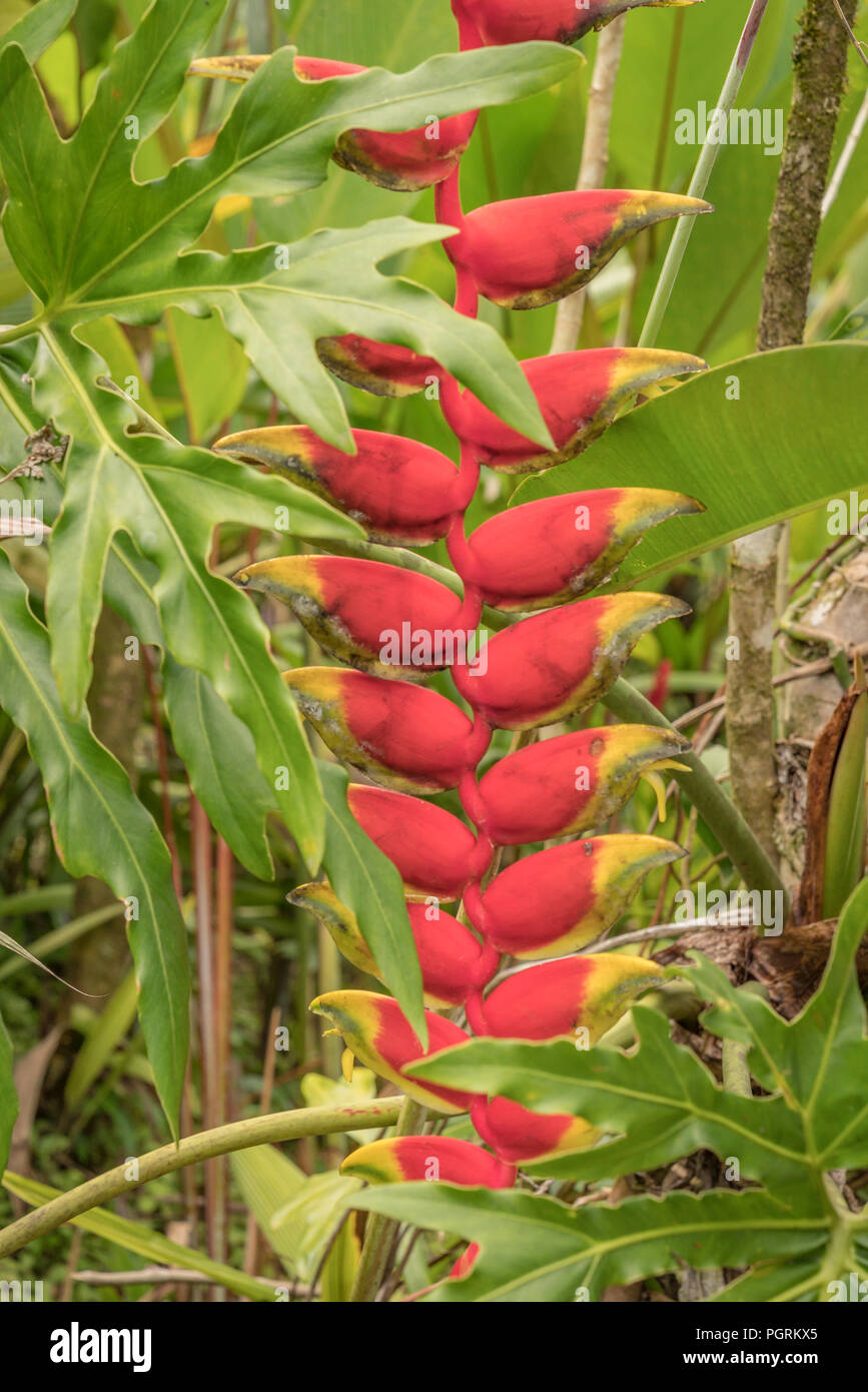 Lobster Claw Heliconia Wildflowers, Costa Rica - Stock Image