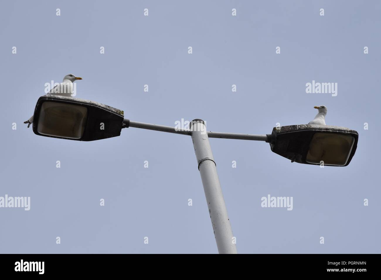 Seagulls: two individuals stake their claim atop a double-headed street light - Stock Image