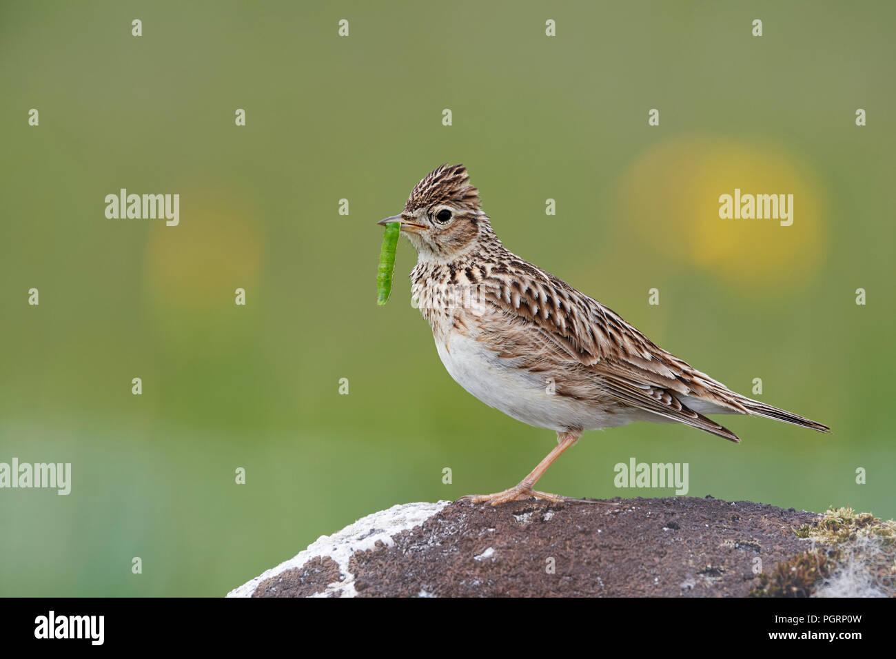 Skylark, Alauda arvensis, UK - Stock Image