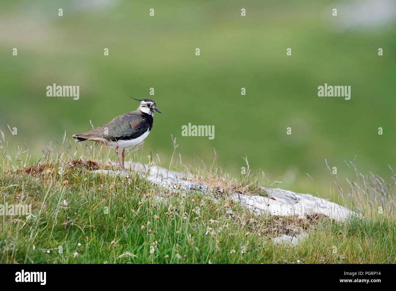 Northern lapwing, Vanellus vanellus, UK - Stock Image