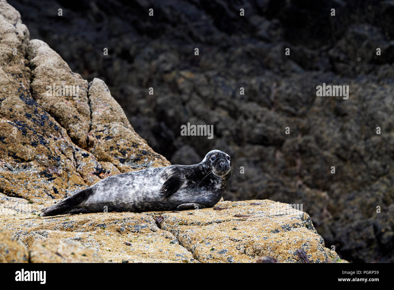 Grey seals on Mingulay beach, Bishop's Isles, OUter Hebrides, Scotland, UK - Stock Image
