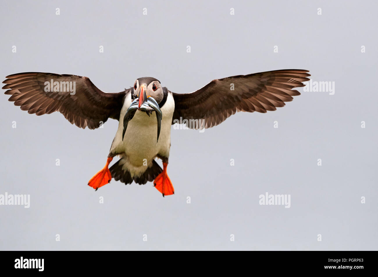 Puffin, Fratercula arctica, Mingulay, Bishop's Isles, Outer Hebrides, Scotland, UK - Stock Image