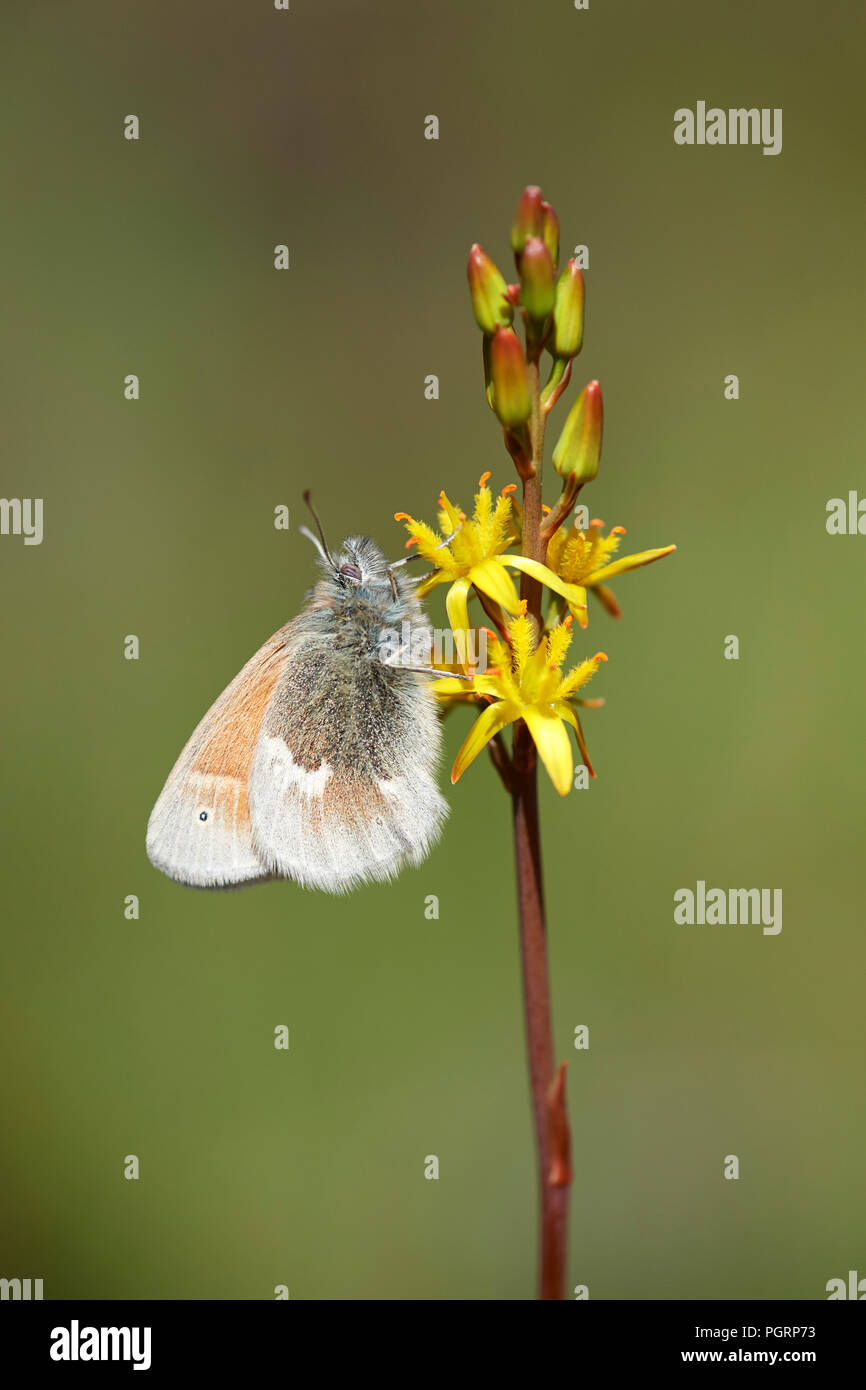 Large heath butterfly, North Uist, Scotland, UK - Stock Image