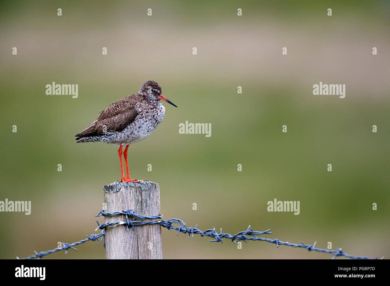 Common redshank, Tringa totanus, UK - Stock Image