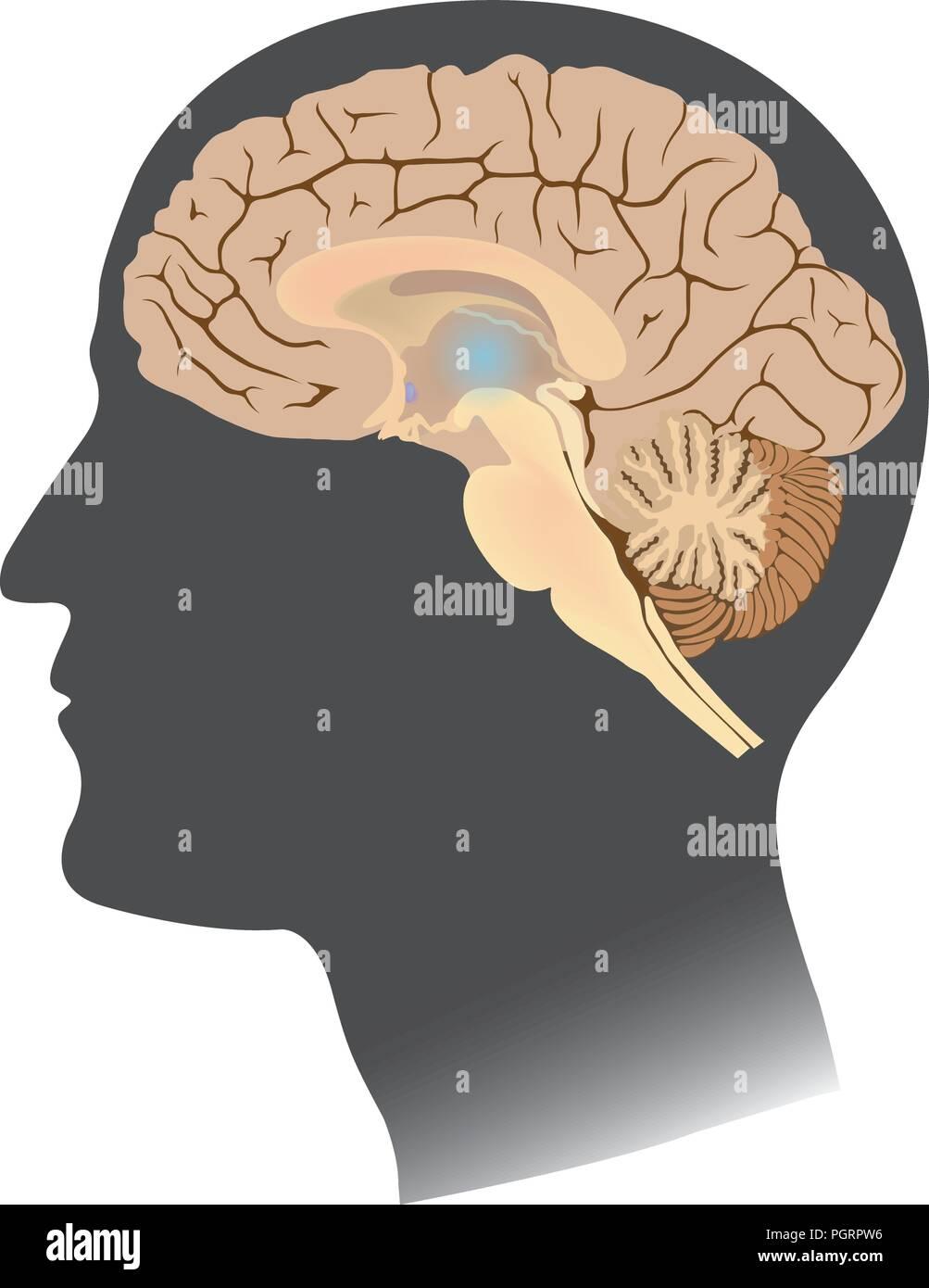 Human Brain white isolate. Anatomy body infographic. Illustration. - Stock Image