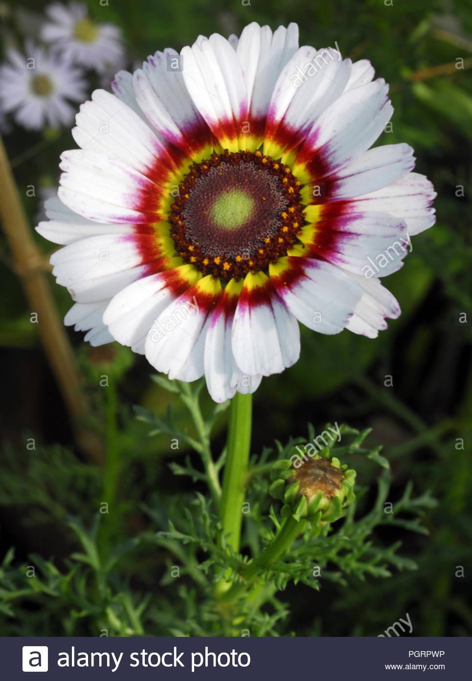 Isolated Closeup Of White Venidium Fastuosum Zulu Prince Daisy