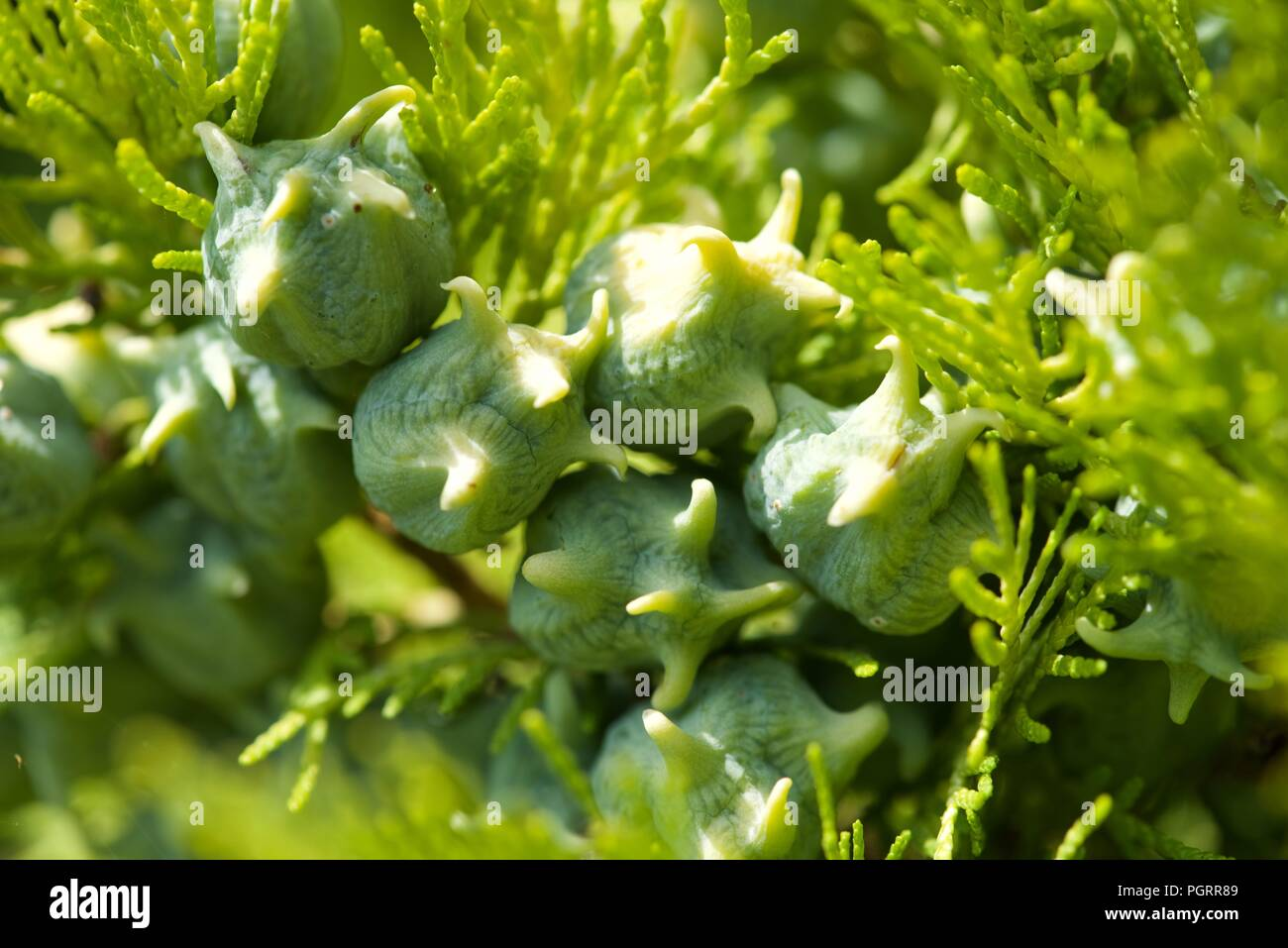 Conifer (Thuja Orientalis): a close up of the immature seed cones - Stock Image