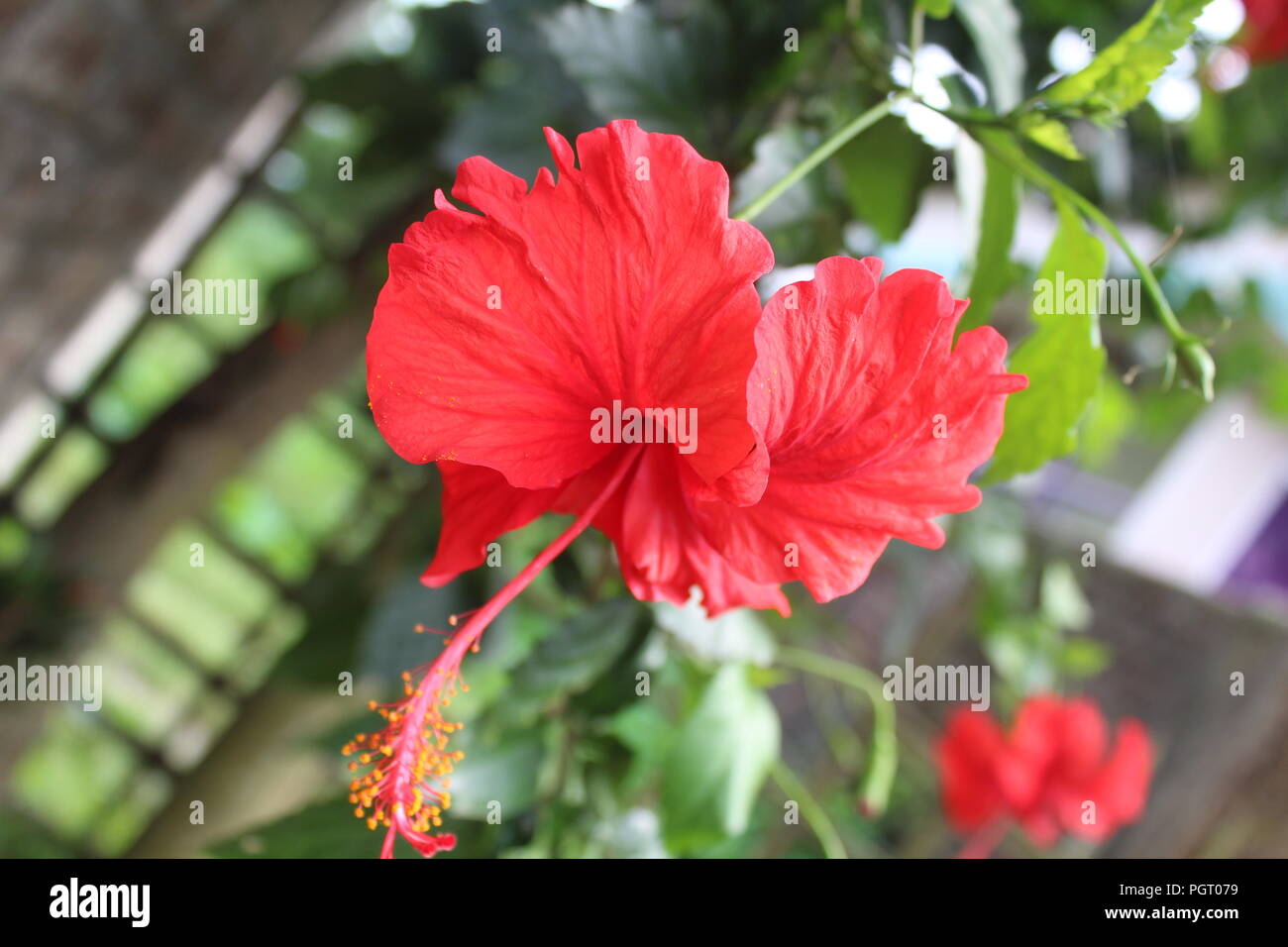 Red hibiscus flower texture background. - Stock Image