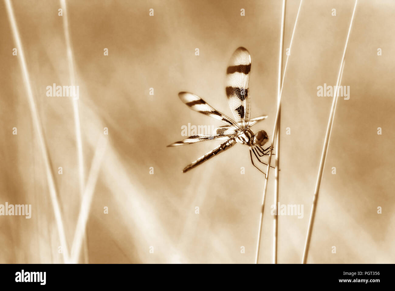 Dragonfly perched on wild grasses in sepia tones - Stock Image