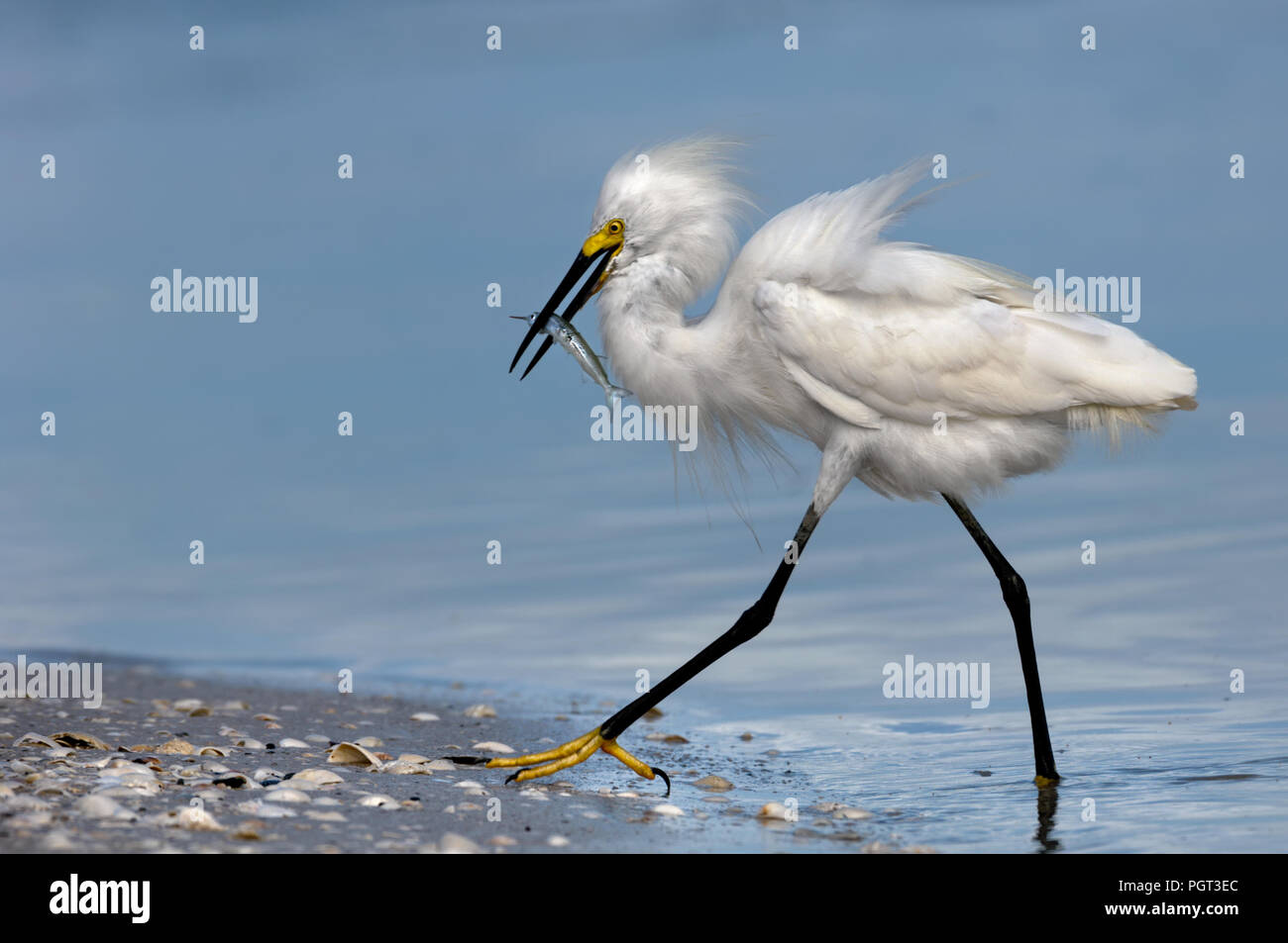 A snowy egret with fluffy feathered plumage wades out of the