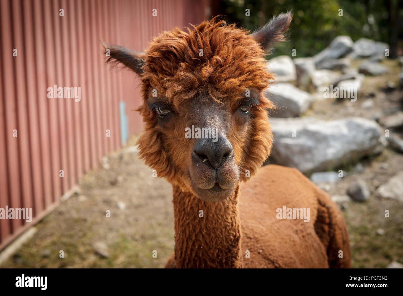A portrait of a cute reddish brown alpaca in Coeur d'Alene, Idaho. - Stock Image