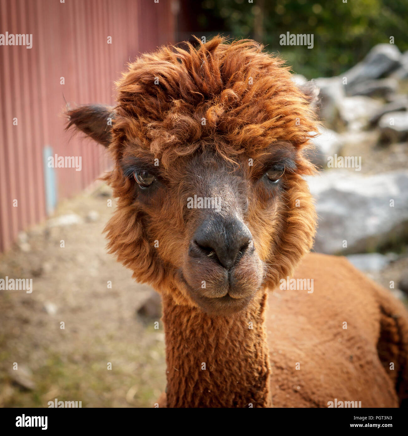 A portrait of a cute reddish brown alpaca in Coeur d'Alene, Idaho. - Stock Image