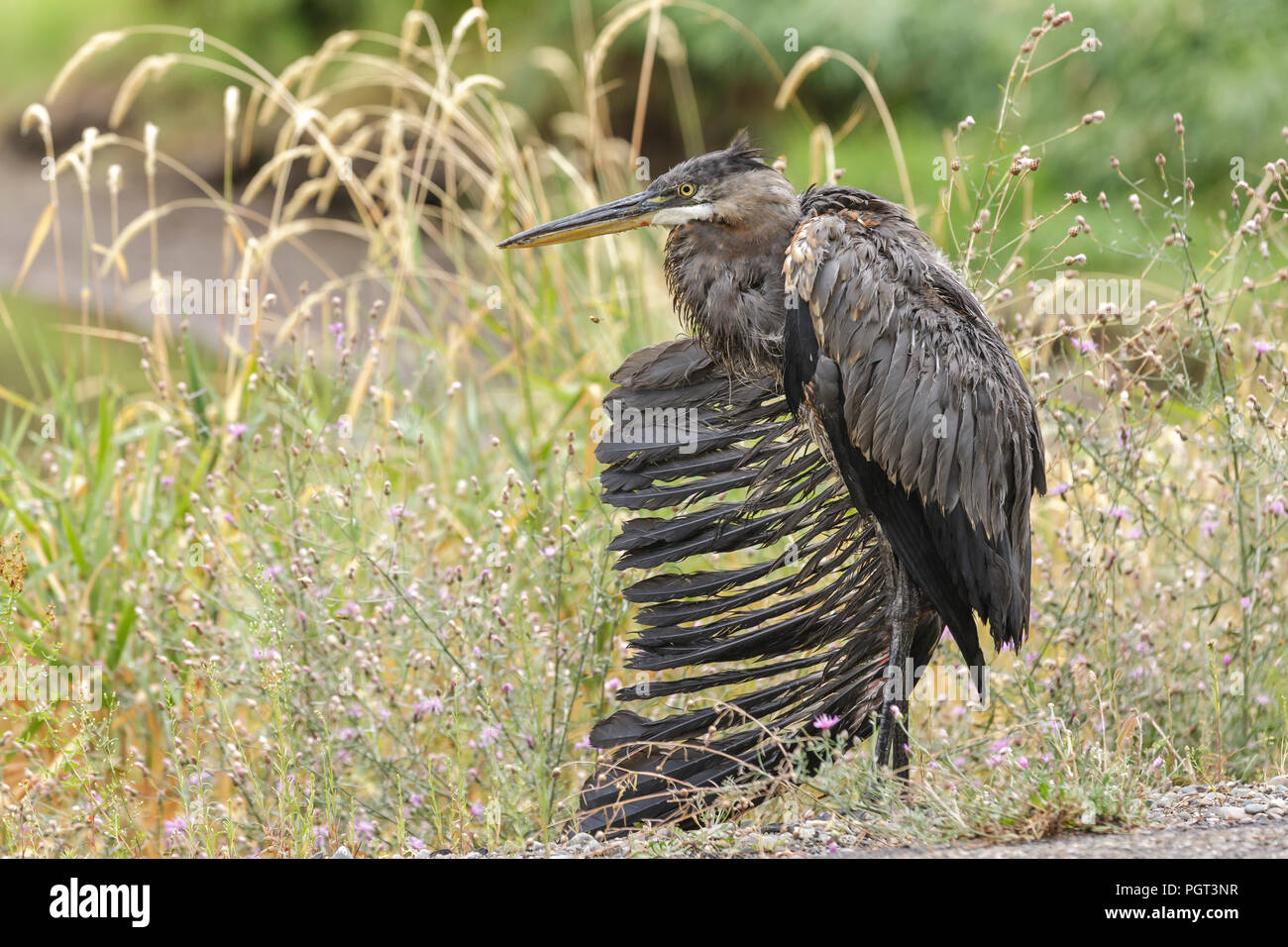A great blue heron is in distress with a broken wing in Hauser, Idaho. - Stock Image