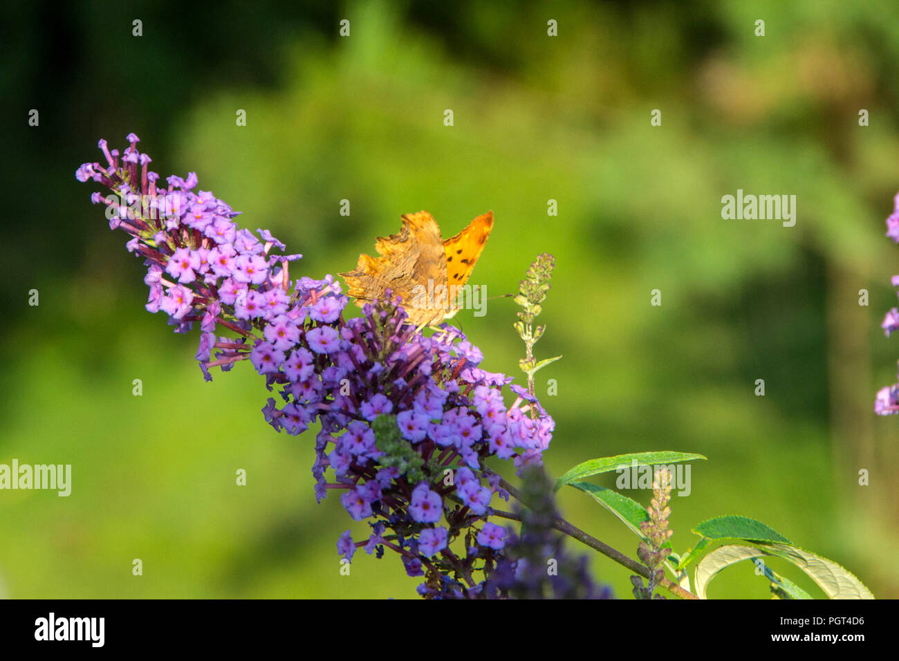 Butterflies is a plant that attracts butterflies and, accordingly, it got the name of the butterfly bushes - Stock Image