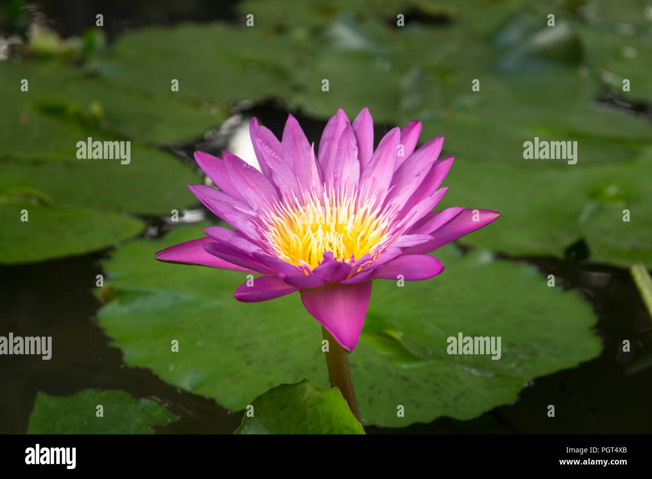 Horizontal Close Up Photo Of Blooming Pink Lotus Flower Blossom