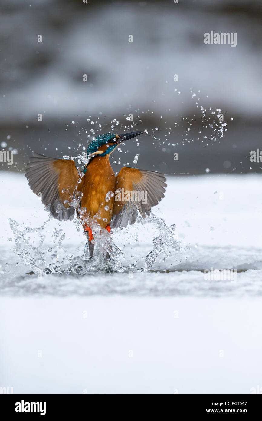 Kingfisher (Alcedo atthis) fishing through an ice hole - Stock Image