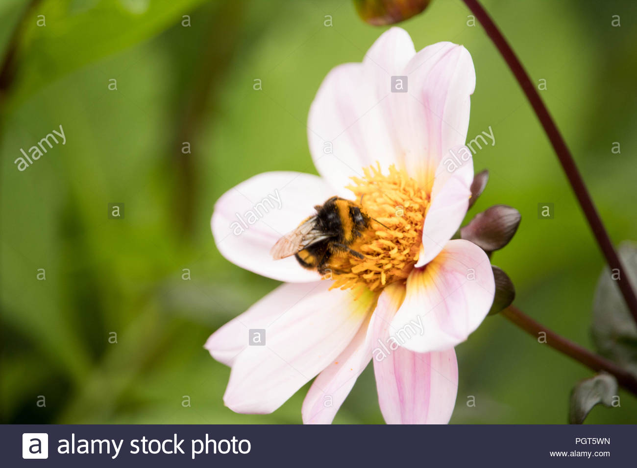 British Summer Garden after rain - a bee settles on a pink-white Dahlia gathering nectar. Stock Photo