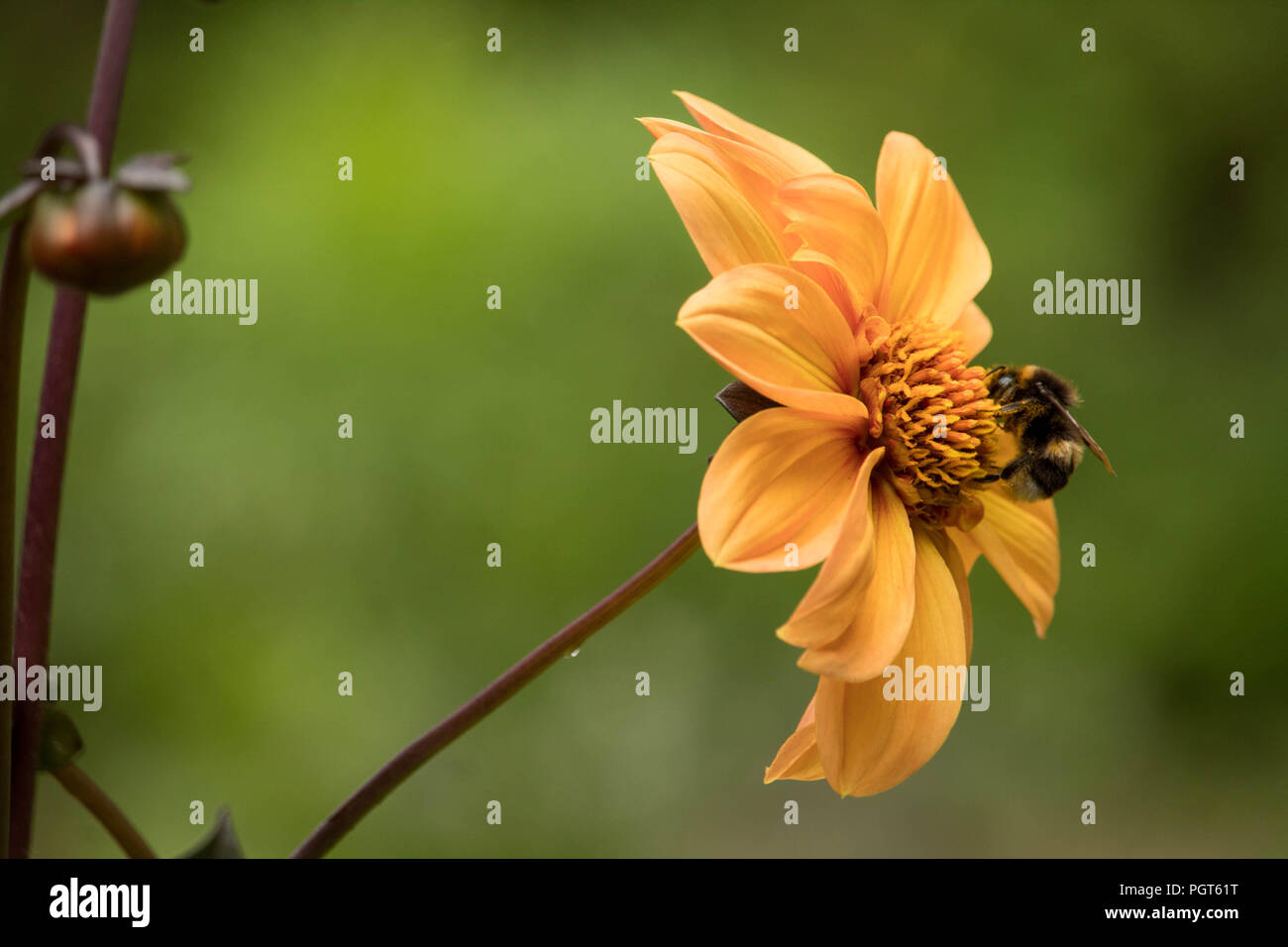 British Summer Garden after rain - a bee settled on an orange Dahlia sipping nectar. - Stock Image
