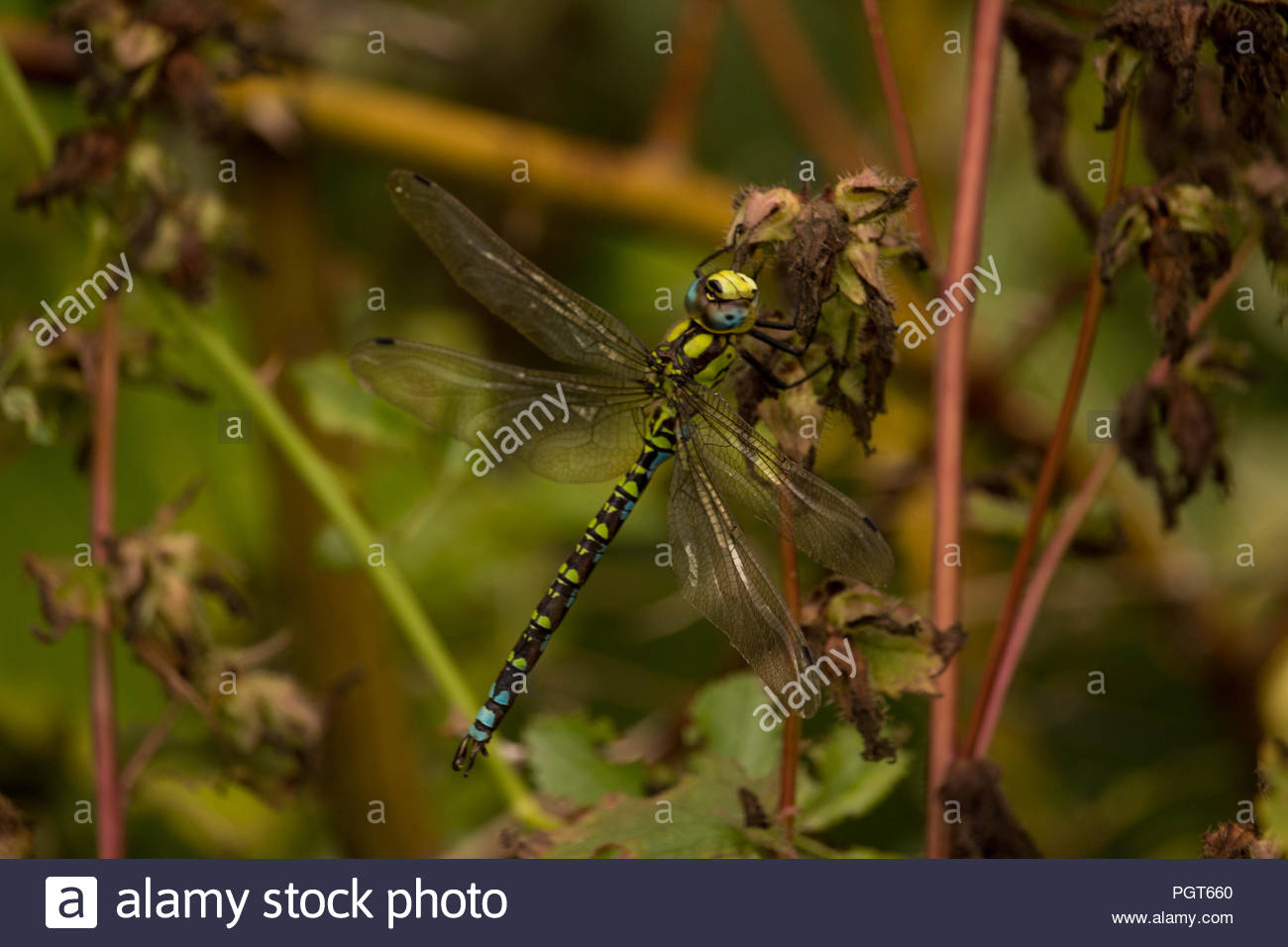 Natural World - Fascinating insect predators. A single dragonfly settling   on garden foliage. Stock Photo