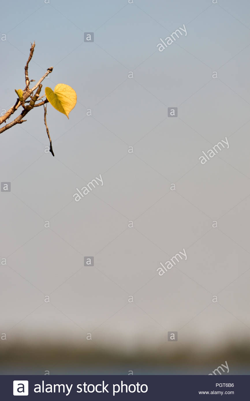 The last yellow leaf about to fall off a tree, as winter sets in, on Goodwood Island, NSW, Australia. - Stock Image