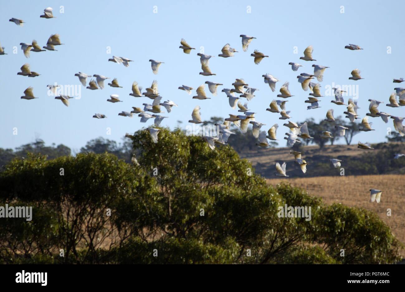 Little corellas (Cacatua sanguinea) in-flight, outback Western Australia. - Stock Image