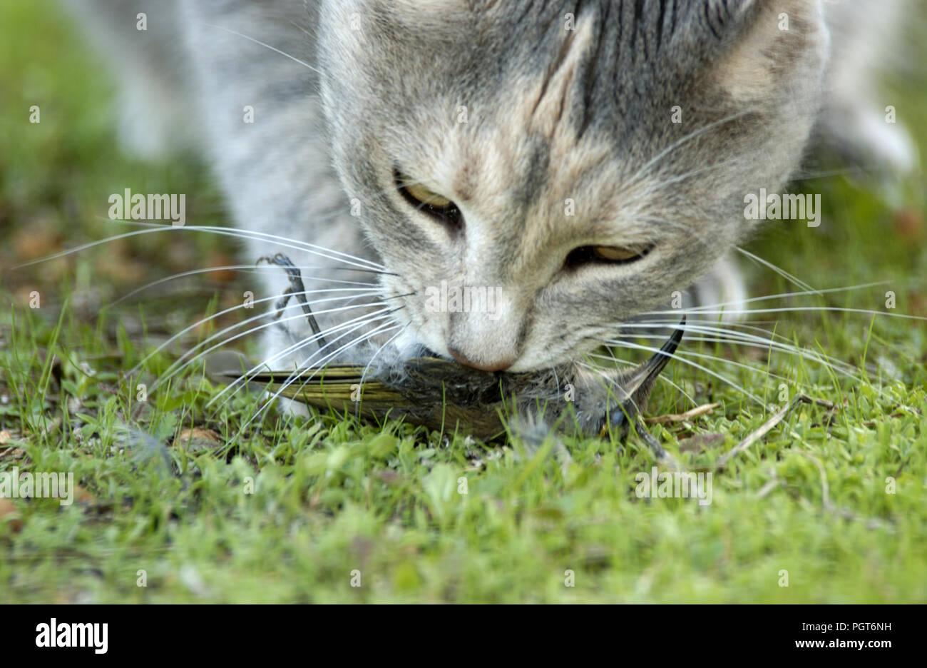 DOMESTIC CAT (FELIS CATUS) WITH DEAD BIRD (NEW HOLLAND HONEYEATER) (CONSERVATION ISSUES) WHICH IT HAS JUST KILLED - Stock Image