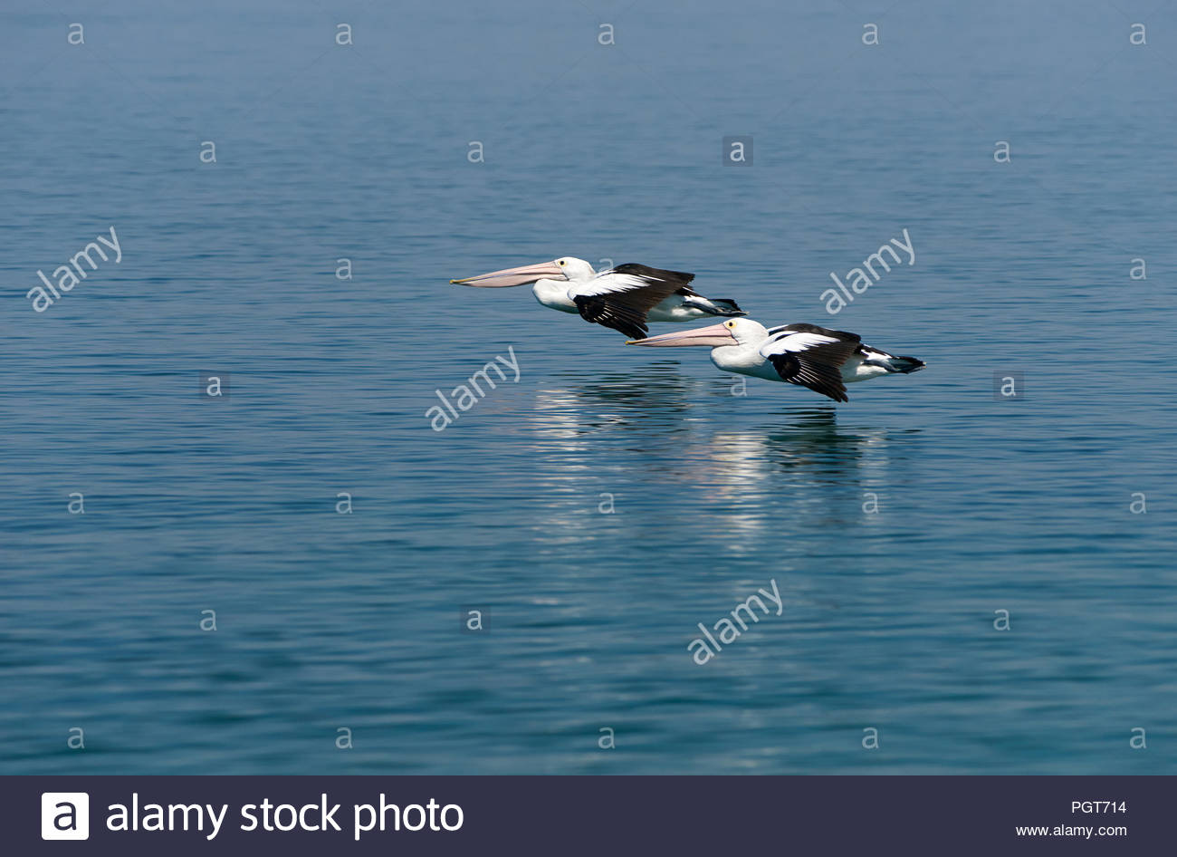 Two Pelecanus conspicillatus - Australian pelicans - flying low over the smooth waters of the Clarence River, off Goodwood Island, NSW, Australia. - Stock Image
