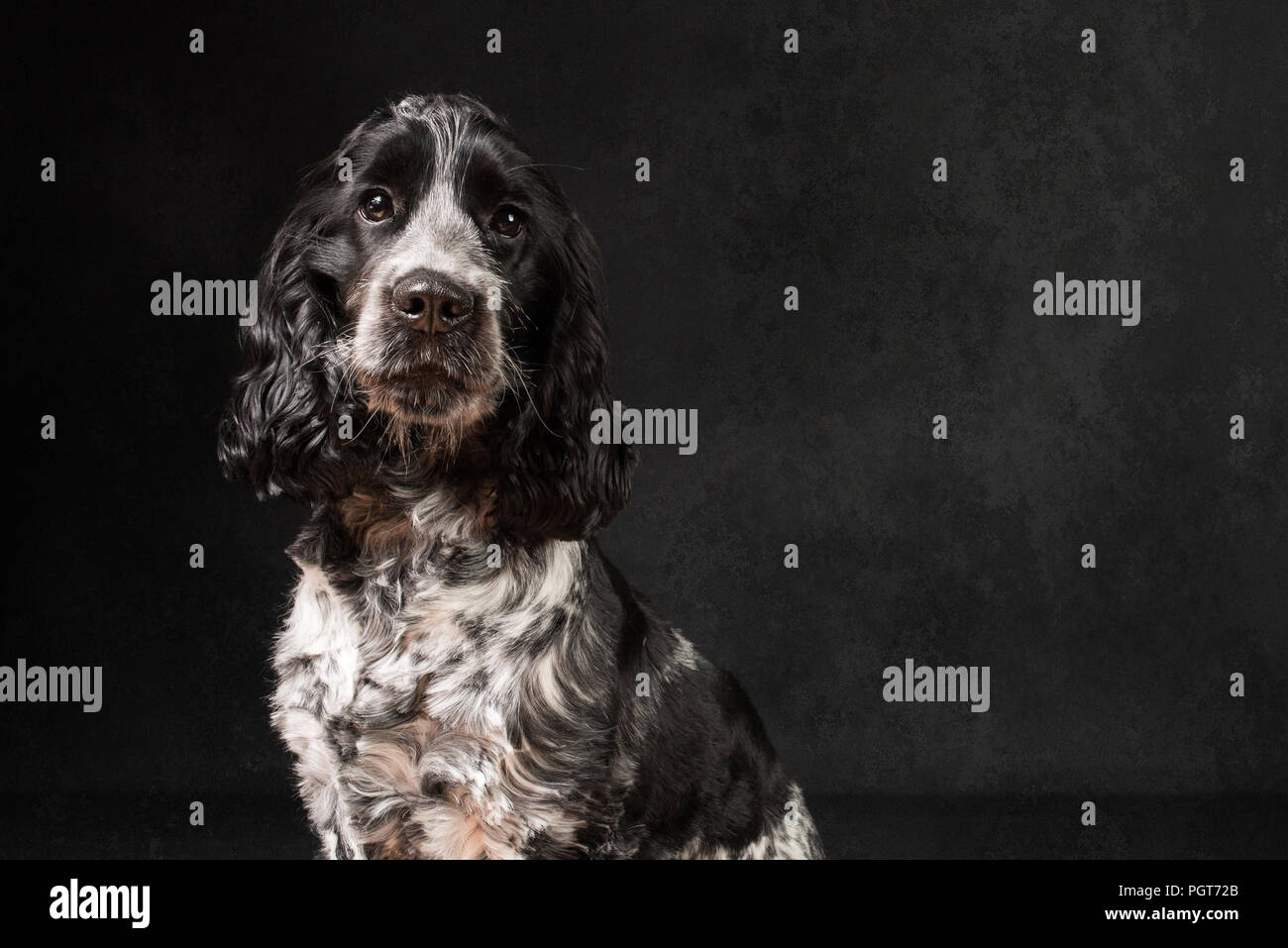 Springer Spaniel Puppy Stock Photo