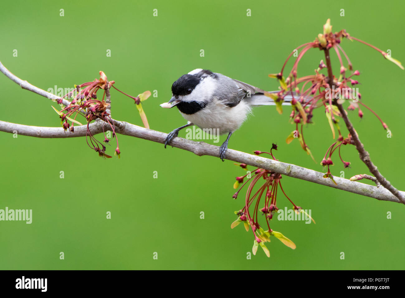 Carolina Chickadee on a Branch of Spring Flowers with Food in It's Beak - Stock Image