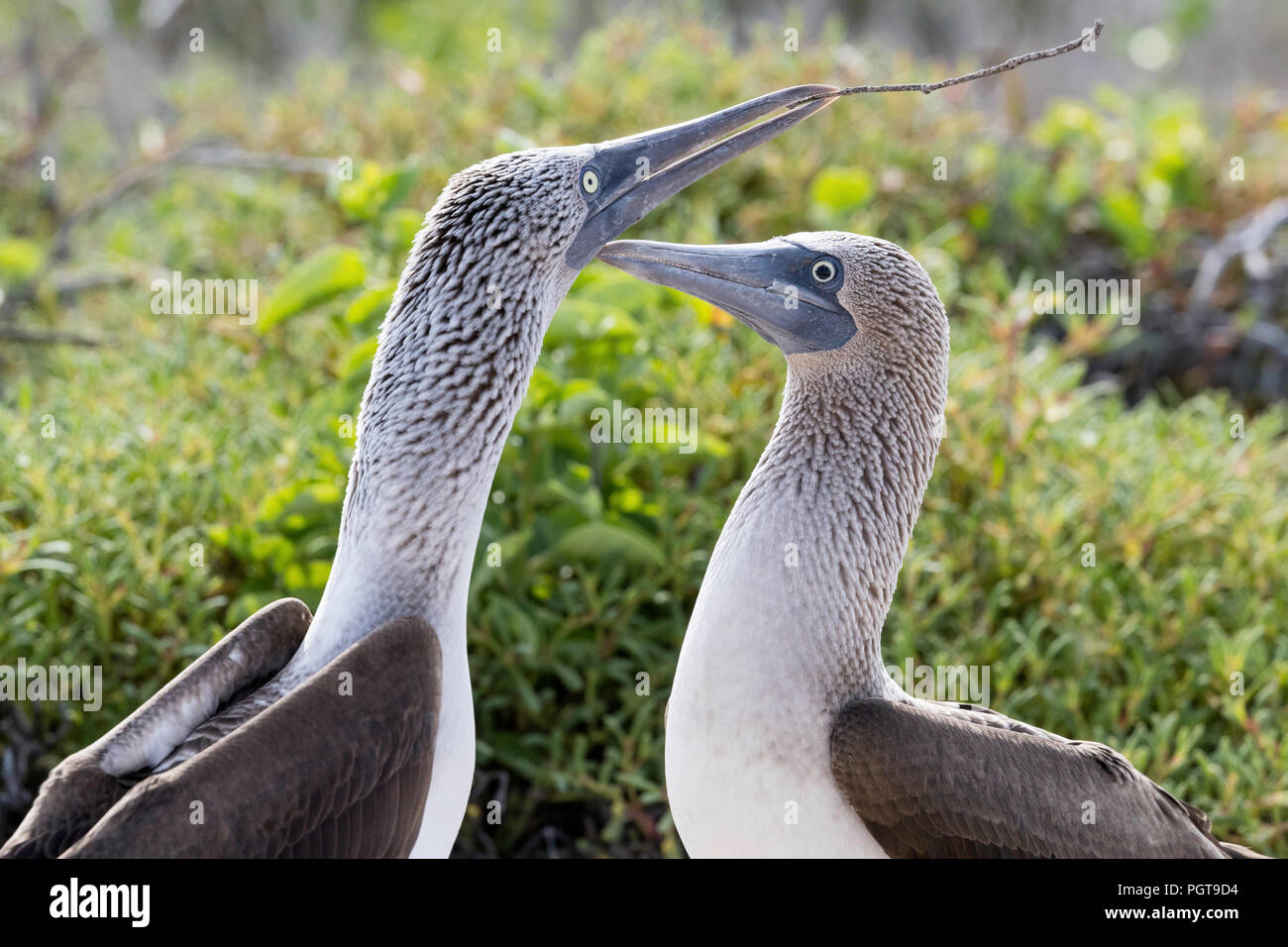 Blue-footed booby, Sula nebouxii, pair in courtship display on North Seymour Island, Galápagos, Ecuador. Stock Photo