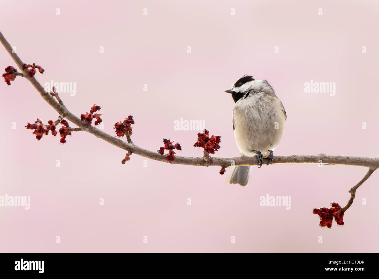 Carolina Chickadee on a Branch of Spring Flowers Against a Pink Background - Stock Image