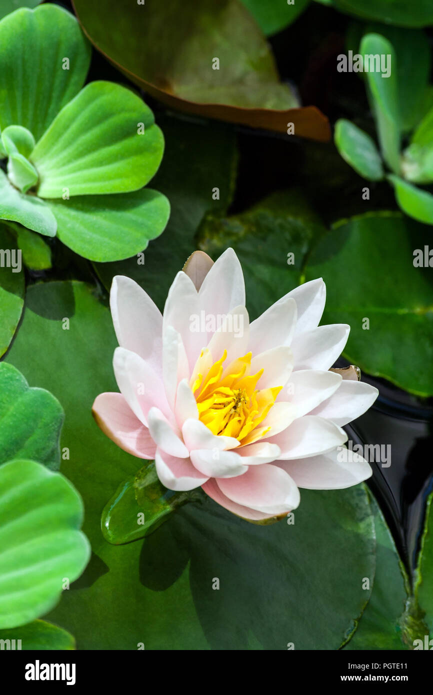 White And Pink With A Yellow Lotus Core Surrounded By Aquatic Plants