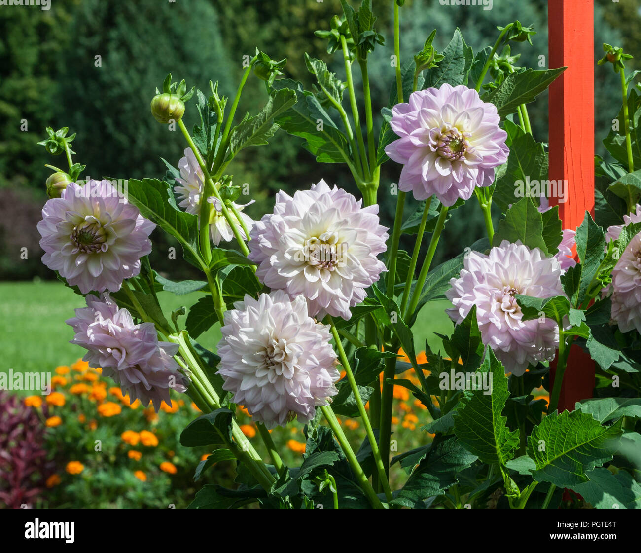 White aster flowers buds on stock photos white aster flowers buds asteraceae dahlia cultorum grade evalds valters white and purple delicate flowers aster flowers in bloom and mightylinksfo