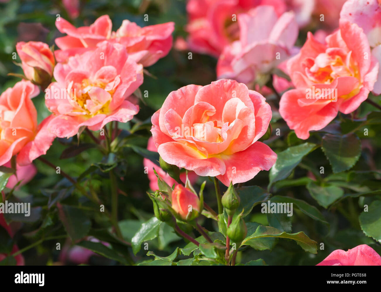 Rose flower grade airbrush a beautiful orange pink rose of medium rose flower grade airbrush a beautiful orange pink rose of medium sized flower in the color of the petals yellow orange and pink tones the plant izmirmasajfo